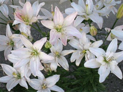 These are my Hybrid Pixie Lilies. Aren't they lovely?