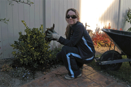 Here I am giving a euonymous some lovely mulch.
