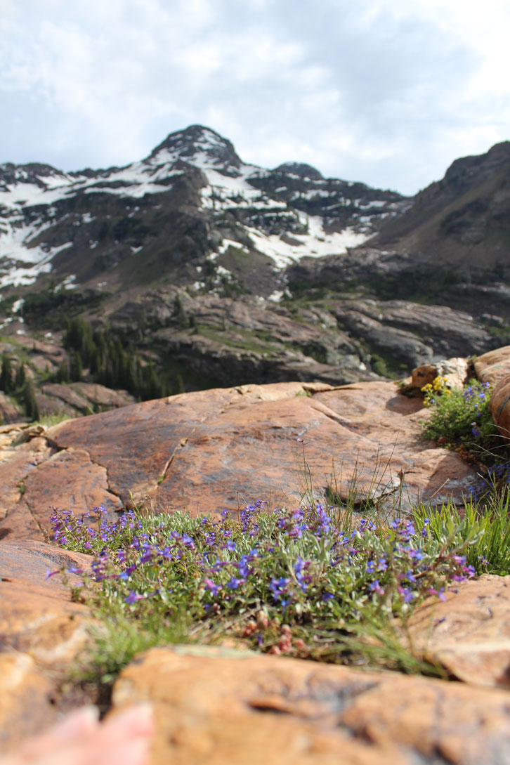 Alpine flowers bloom in Big Cottonwood Canyon around June.