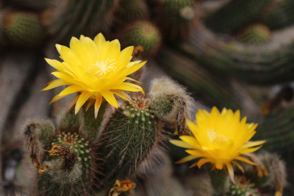 Delicate blooms offered vibrant relief to the bristly greens in the Cactus Garden.
