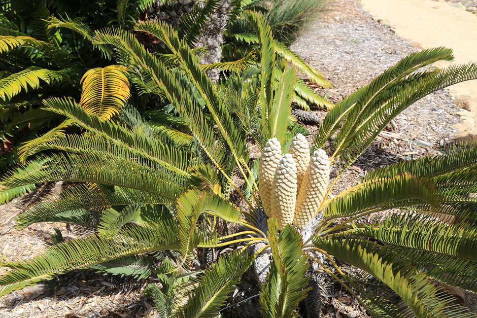 Lotusland cultivates several species of cycad that are no longer found in the wild.