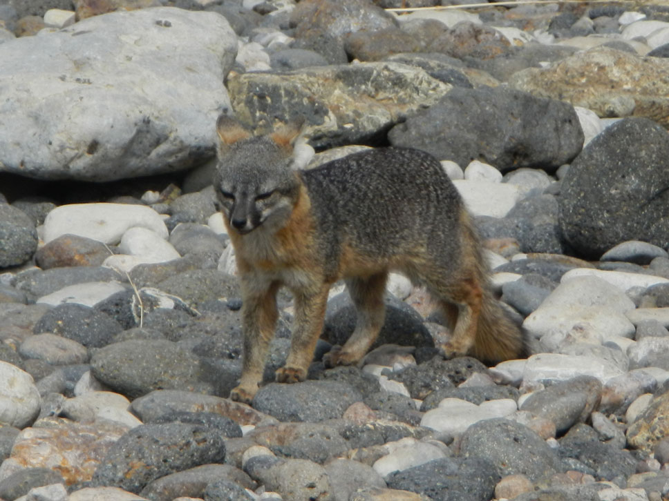 The Santa Cruz Island fox is only found on Santa Cruz Island. Thanks to their protected status, these cute critters are not intimidated by people.