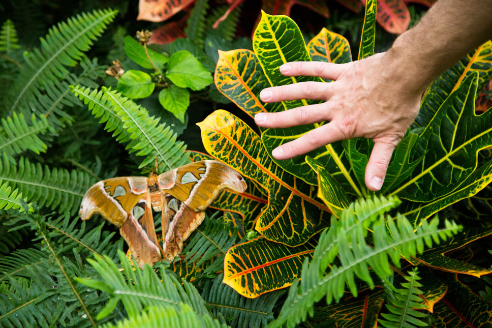 The Atlas moth is the biggest moth in the world. It's bigger than many birds and Jason's hands.