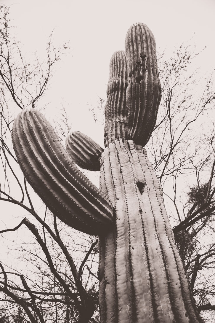 Saguaro cacti only grow in the Sonoran Desert but they do so with zest, living hundreds of years.