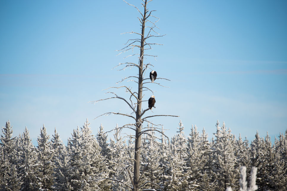 Due to all the runoff from thermal features, the Madison River doesn't freeze so wildlife congregates along its path in the winter. That was where we found these bald eagles.
