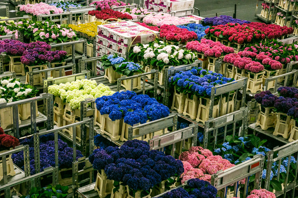 At the Aalsmeer flower market, trains and carts of flowers zoom around the world's fourth-largest building with a nerve-racking rapidity.